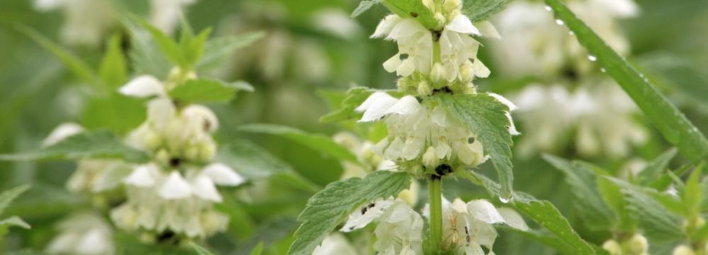 Z bylinkového herbáře: Hluchavka a její prospěšné účinky