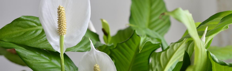 Rostliny, které ozdraví vaši domácnost a zbaví ji toxinů