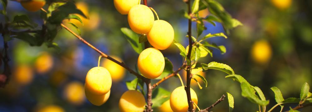 Špendlíky: opomíjené ovoce, výborné do džemu. Co o nich víme?