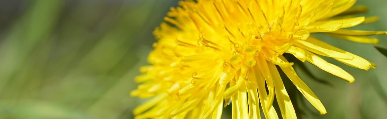 Pampeliška je významná léčivka – pomáhá na oslabená játra i žlučník