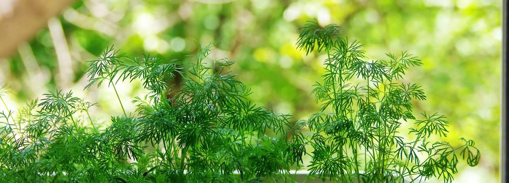 Kopr: bylinka, kterou buď milujete nebo nenávidíte. Co jste o ní nevěděli?