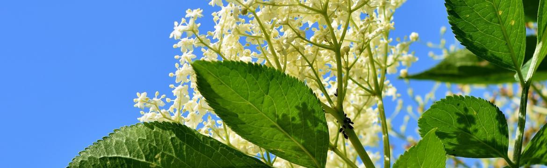 Využijte květy černého bezu pro krásu a zdraví pokožky
