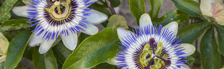 Mučenka je krásnou rostlinou, kterou můžete pěstovat doma a využít ji pro své zdraví