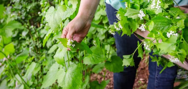 Divoké bylinky v nádivce usnadní trávení a navíc ji skvěle dochutí. Jaké nasbírat?