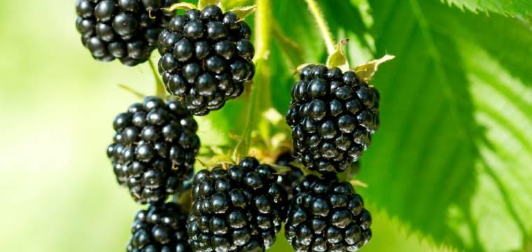 Ostružiny: pozdně letní ovoce s mimořádně prospěšnými účinky pro naše zdraví