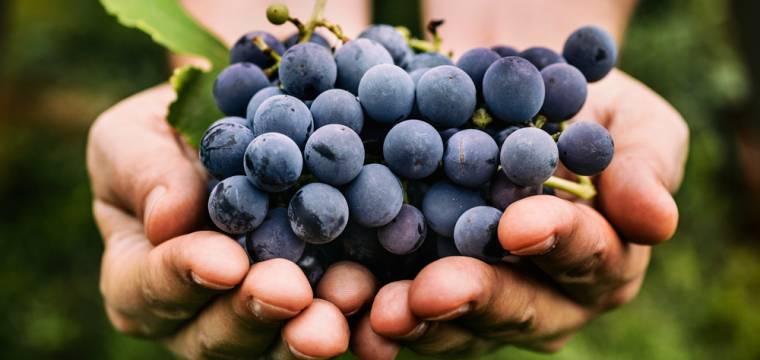 Kvašený mošt z hroznů – mok prospěšný pro vaše srdce a cévy