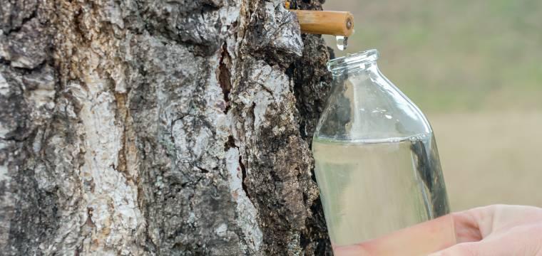 Březová voda působí blahodárně na ledviny a zmírňuje dnu