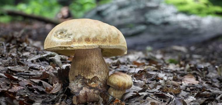 Houby – na jaké houby se zaměřit v létě a pro koho nejsou vhodné?
