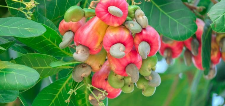 Zvláštní kešu: ořechy to nejsou a na stromě byste je nepoznali
