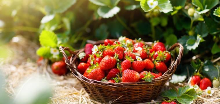 Sezóna jahod je tady! Účinky na zdraví a tipy pro využití v kuchyni