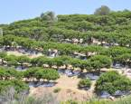 Masticha – léčivá pryskyřice z řeckého ostrova Chios